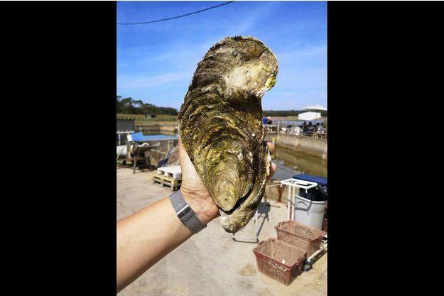 """Georgette"""", l'huître géante d'1,4 kilo découverte en Vendée  George10"""