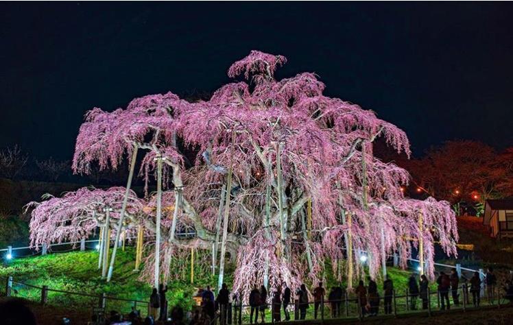 Âgé de 1000 ans, le plus vieux cerisier du Japon offre un spectacle prodigieux Screen19