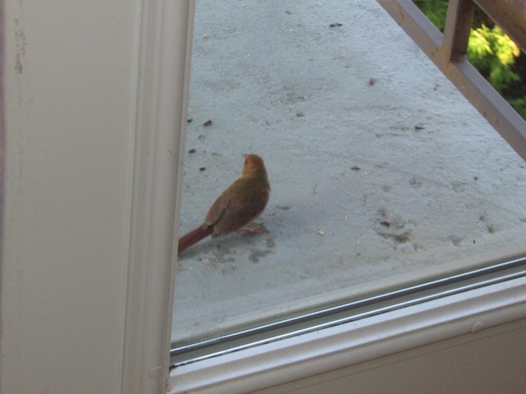 Oiseau rouge et brun Img_9815