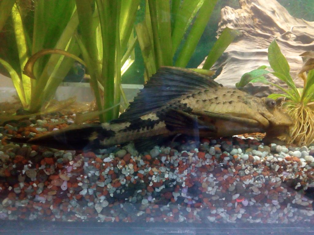 Cambio carachama de 23 cm por otros peces amazónicos pequeños Img_2010