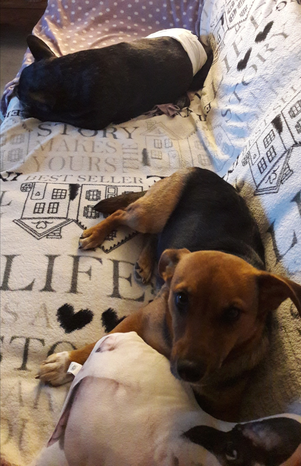 Freya - femelle - refuge de Arad - réservée adoption (39) 20181132