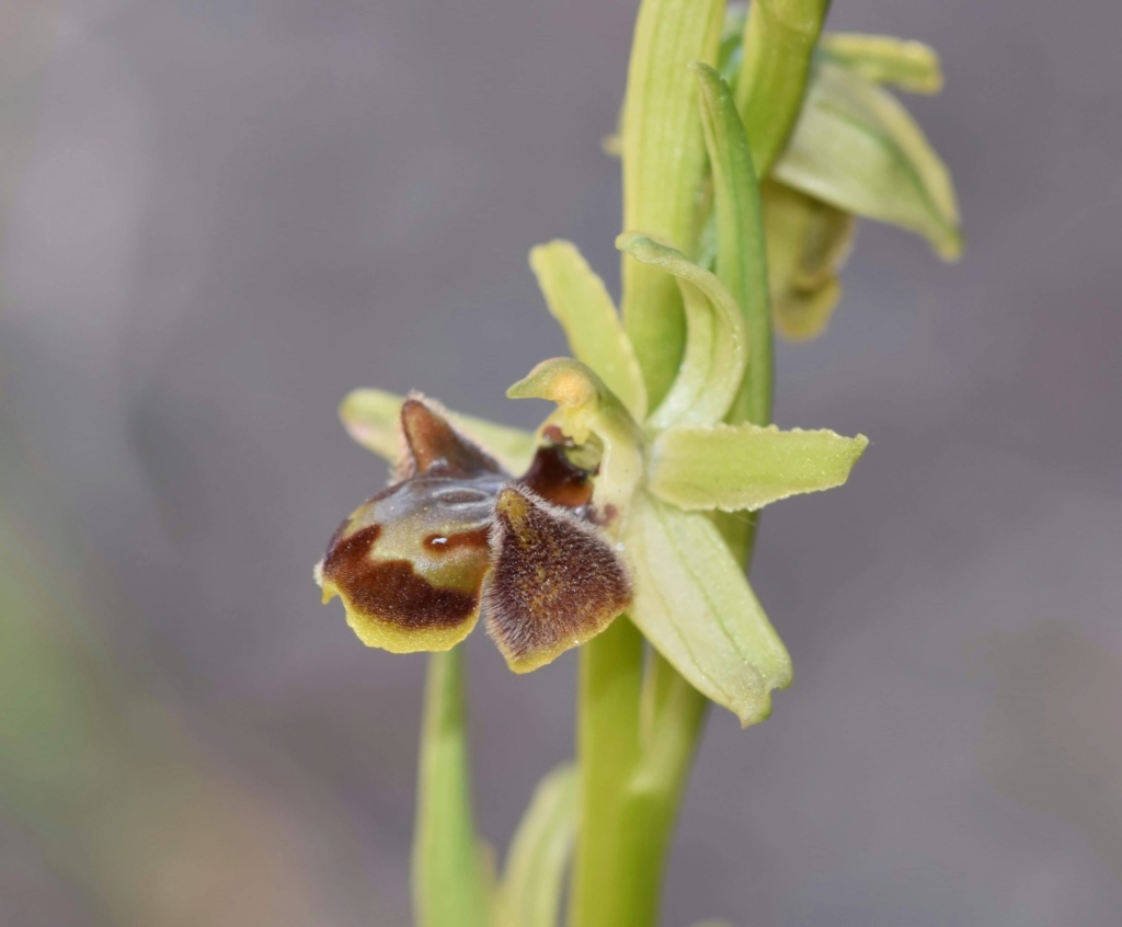 Ophrys sphegodes subsp massiliensis 0a136410