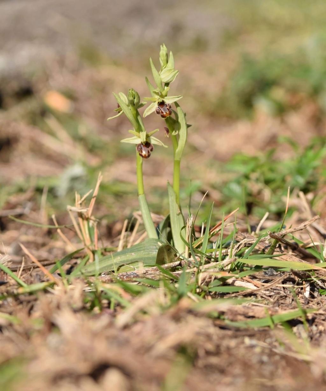 À la découverte de l'Ophrys précoce dit massiliensis... 284bd510