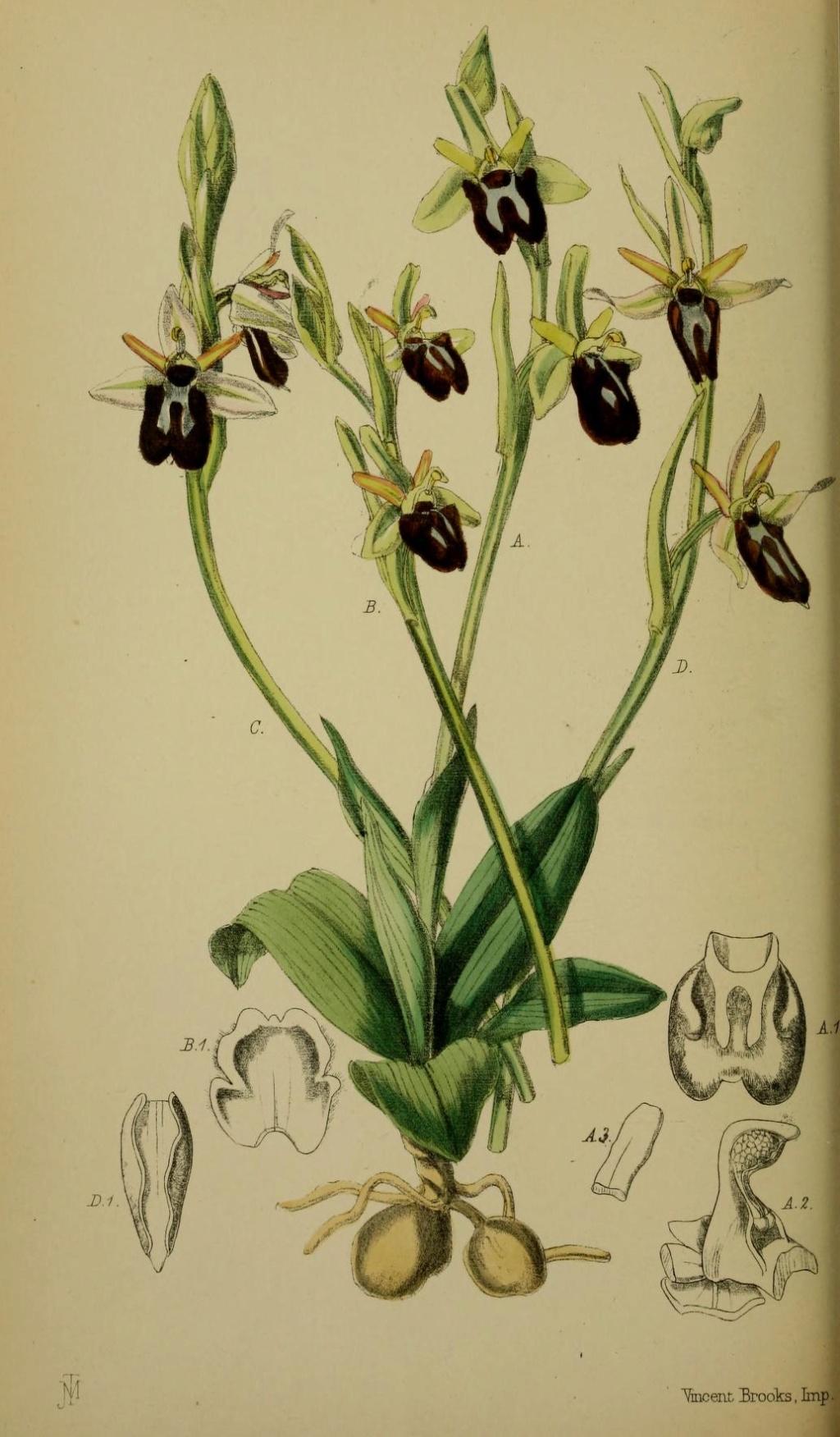 À la découverte de l'Ophrys précoce dit massiliensis... 57073910