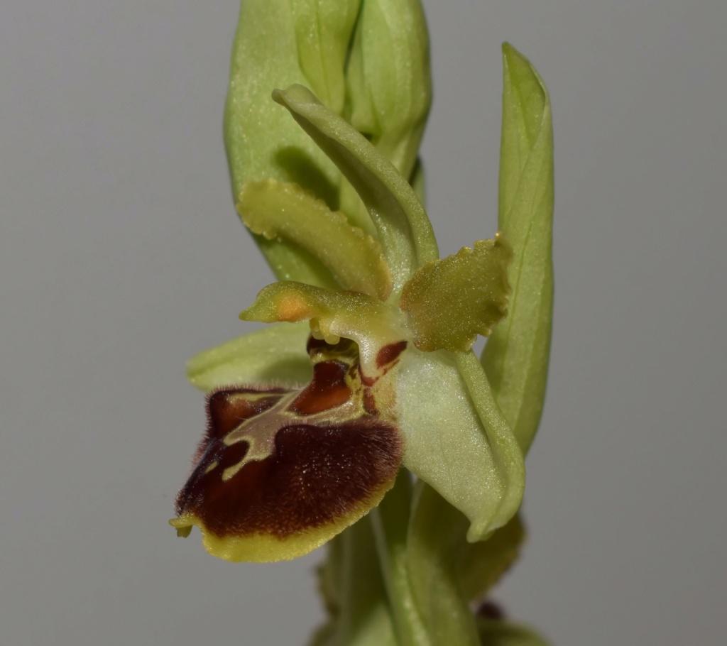 À la découverte de l'Ophrys précoce dit massiliensis... 99f34510