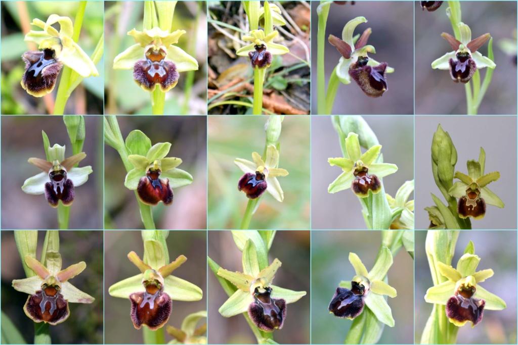 À la découverte de l'Ophrys précoce dit massiliensis... B9945310