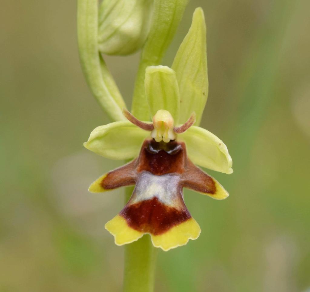 Ophrys de l'Aveyron  Receiv10
