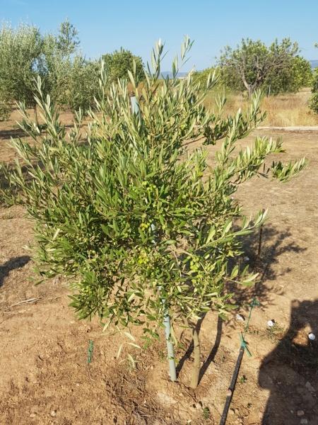 ¿Qué variedad de olivo es? (Mallorca) 20190711