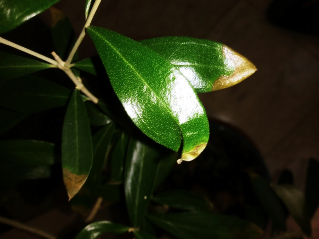 Info carenza bonsai olivo 20191214