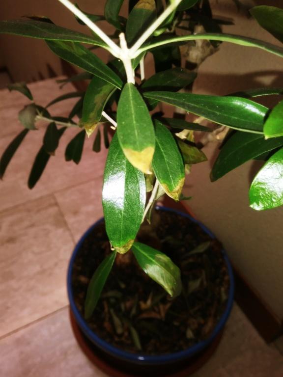 Info carenza bonsai olivo 20191215