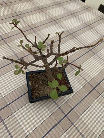 Aiuto per bonsai crassula arborescens 0206ed10