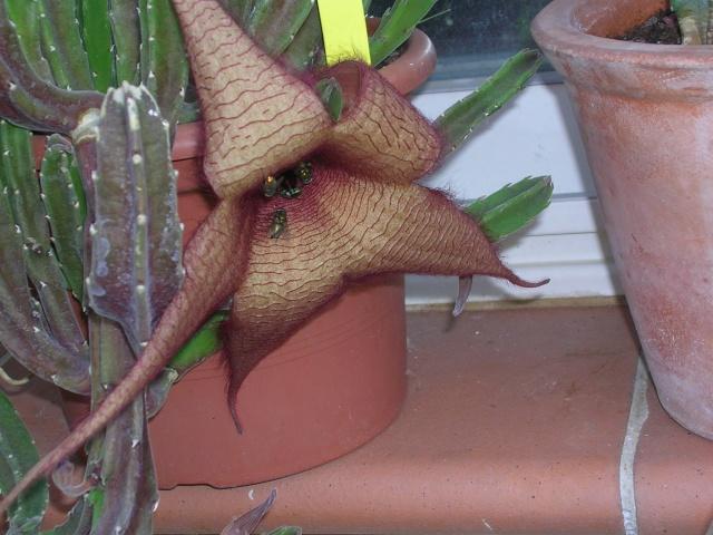 Stapelia grandiflora Dscn4826