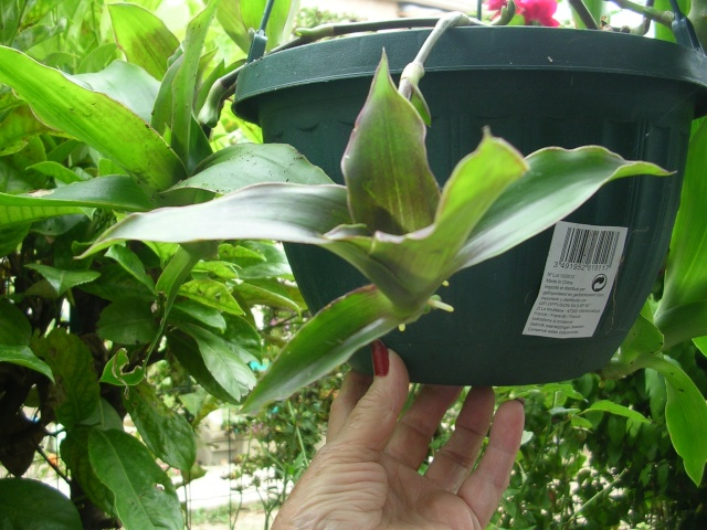 Callisia fragrans Dscn5012