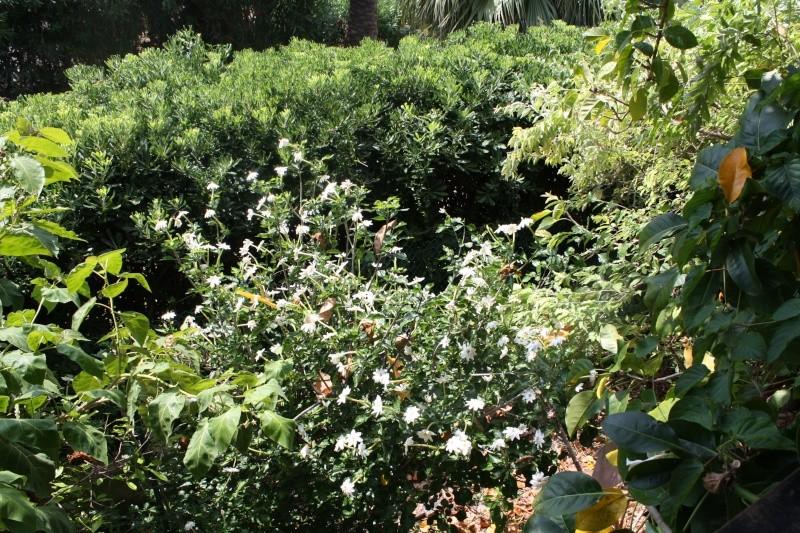 Gardenia thunbergia : une sud africaine Garden11