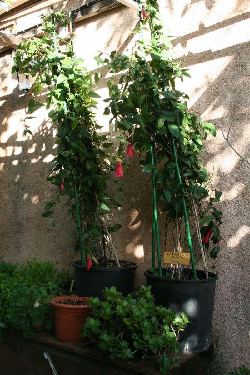 Lapageria rosea Lapage10
