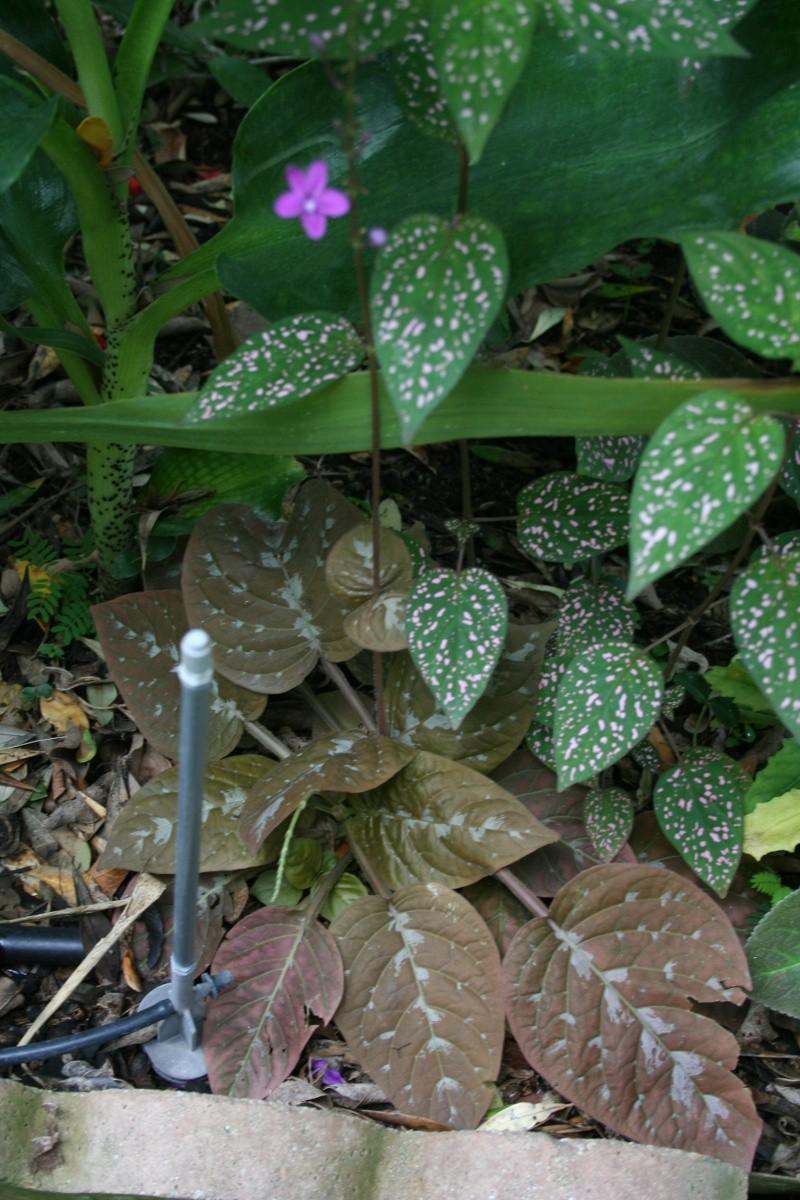 jolie petite plante Pseude10