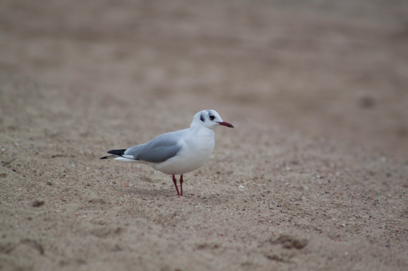 mouette Img_0912