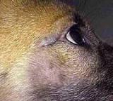 Le DEMODEX chez le chien Demide10