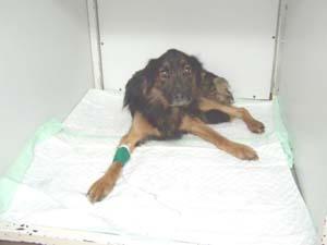 Bilan vétérinaire pour TYSON (1er décembre 2008) Tys-ca11
