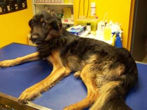 Bilan vétérinaire pour TYSON (1er décembre 2008) Tys-ta11
