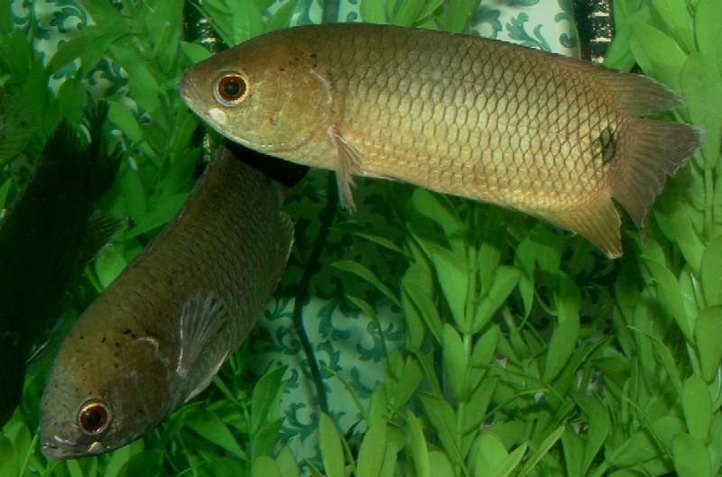 Quiz expert - pour les accros des poissons eau douce-saumâtre (600 points) - Page 9 Poisso10