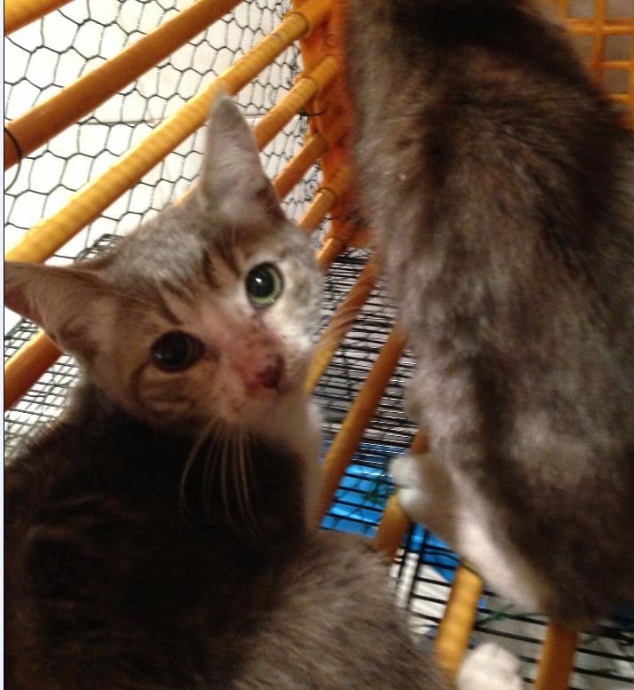 Fa ou adoptants pour 3 magnifiques chatons avant le 17 août RP  Femell10