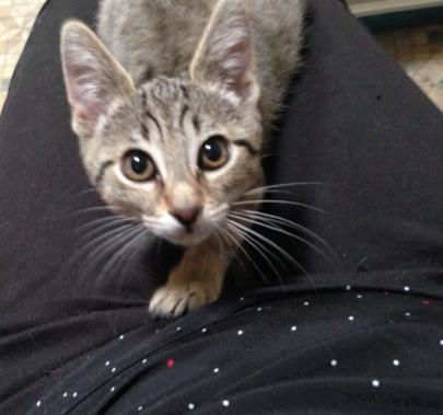 Luciole 2.5 mois, notre petit Lynx (leger handicap) intrepide et caline Luciol11