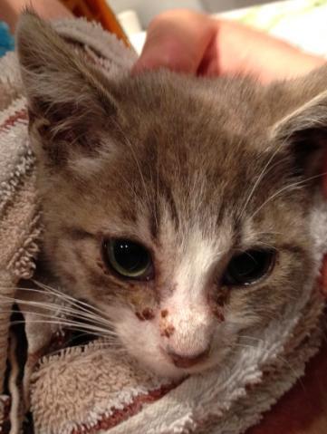 Fa ou adoptants pour 3 magnifiques chatons avant le 17 août RP  Male_p10