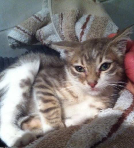 Fa ou adoptants pour 3 magnifiques chatons avant le 17 août RP  Male_p13