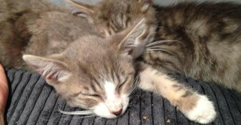 Fa ou adoptants pour 3 magnifiques chatons avant le 17 août RP  Marley11