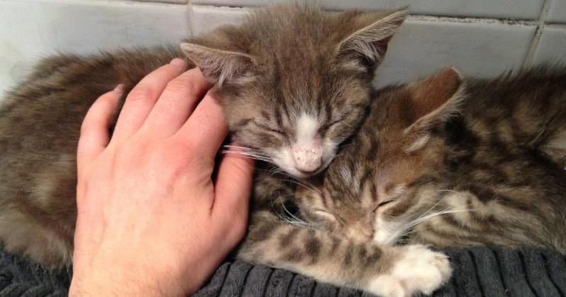 Fa ou adoptants pour 3 magnifiques chatons avant le 17 août RP  Marley12