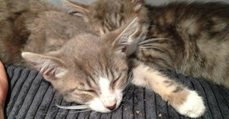Fa ou adoptants pour 3 magnifiques chatons avant le 17 août RP  Marley13