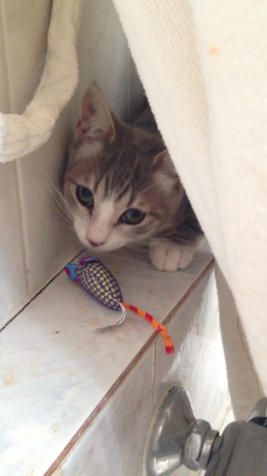 Fa ou adoptants pour 3 magnifiques chatons avant le 17 août RP  Miley_15