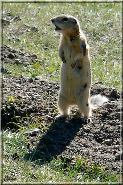 petite marmotte de Mongolie 1_mong10