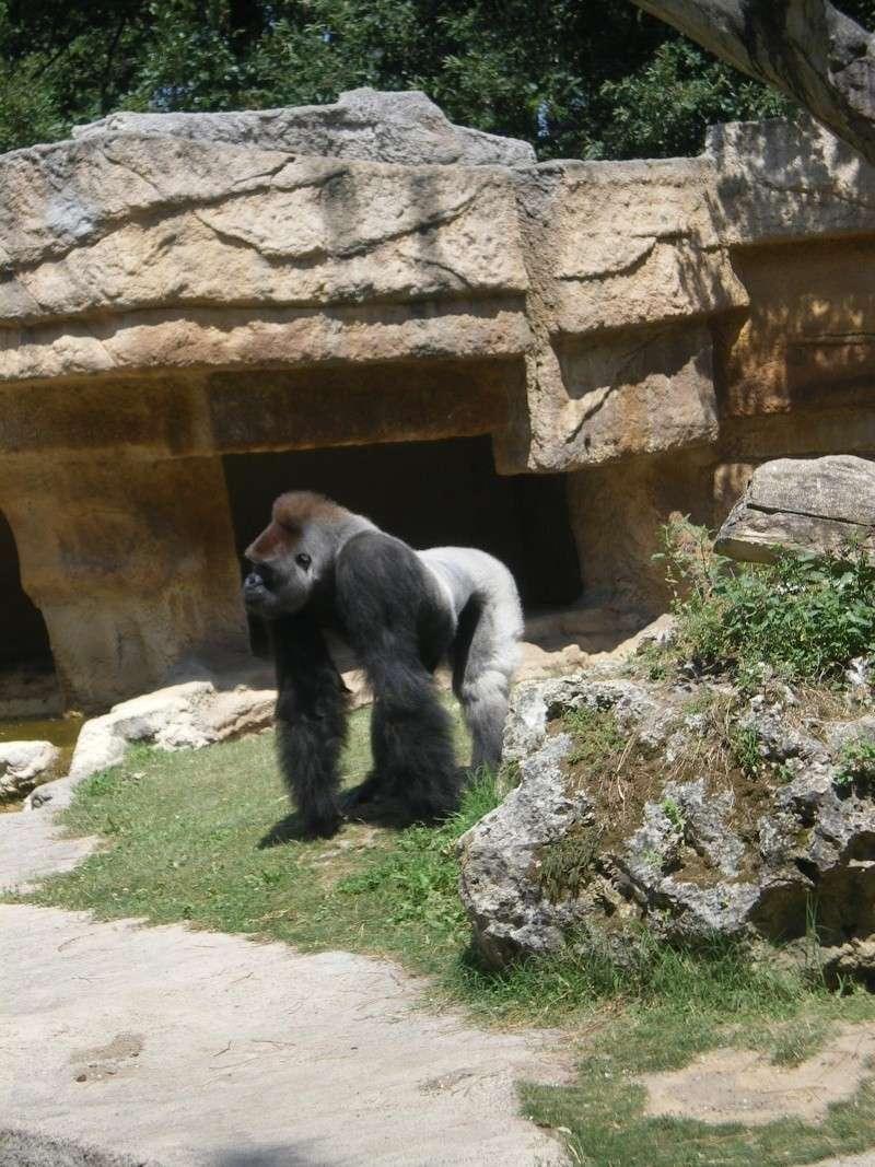 Zoo de la Palmyre Gorill10