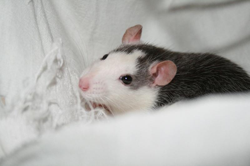 2 rattes 1 an cherchent une nouvelle maison d'urgence ! Divers16