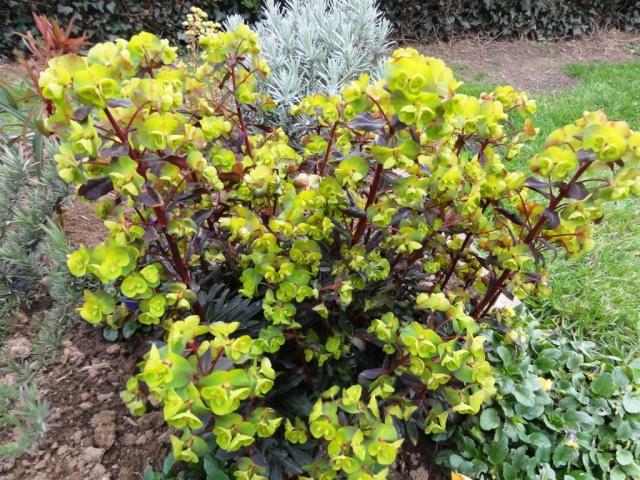 Euphorbia amygdaloides Dsc01611