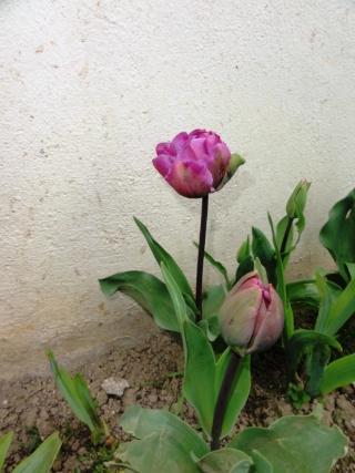 Tulipa - grands hybrides - tulipes chics et kitch (sections 1 à 11) - Page 5 Dsc01612