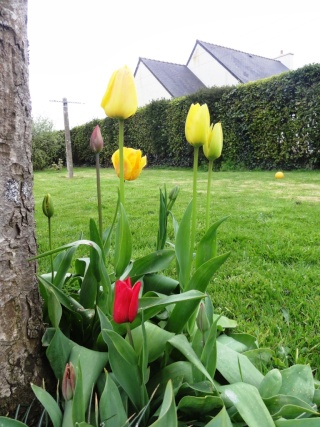 Tulipa - grands hybrides - tulipes chics et kitch (sections 1 à 11) - Page 5 Dsc01613