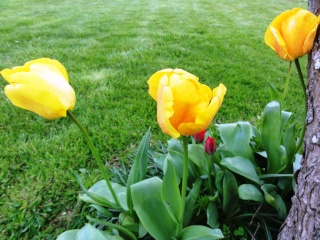 Tulipa - grands hybrides - tulipes chics et kitch (sections 1 à 11) - Page 5 Dsc01614