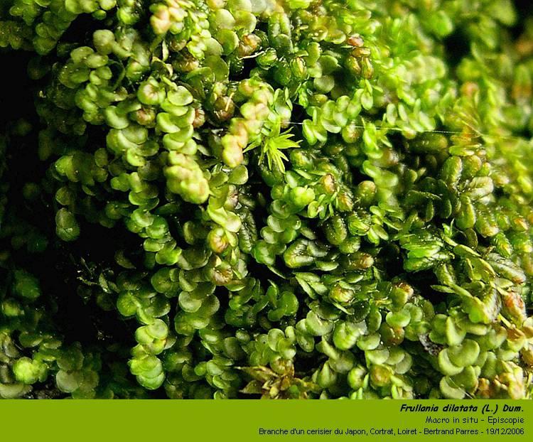 Frullania dilatata (L.) Dum. 01_fru10