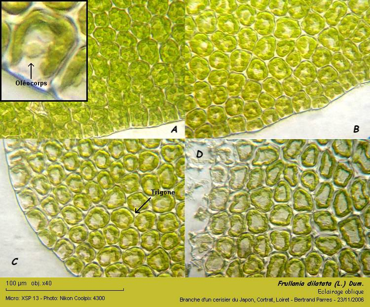 Frullania dilatata (L.) Dum. 05_fru10