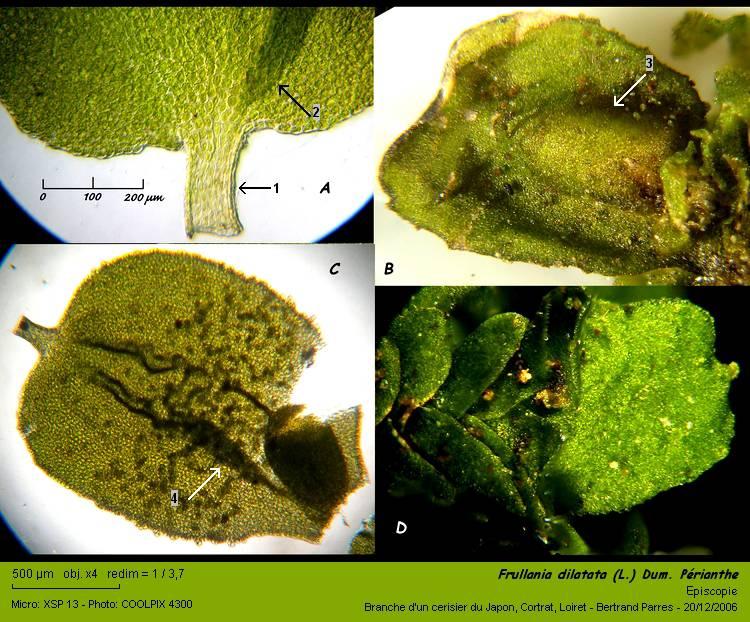 Frullania dilatata (L.) Dum. 06_fru10
