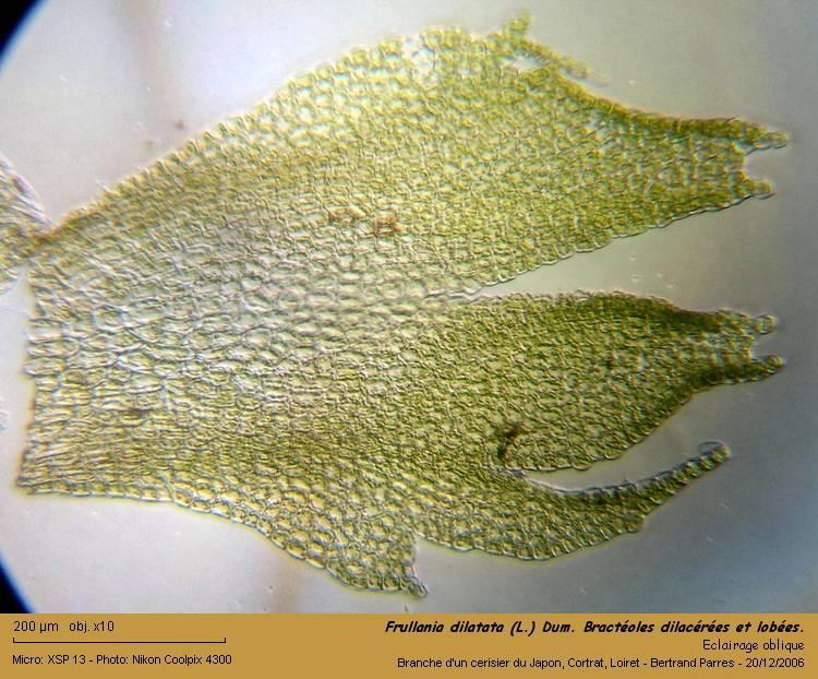 Frullania dilatata (L.) Dum. 07_fru10