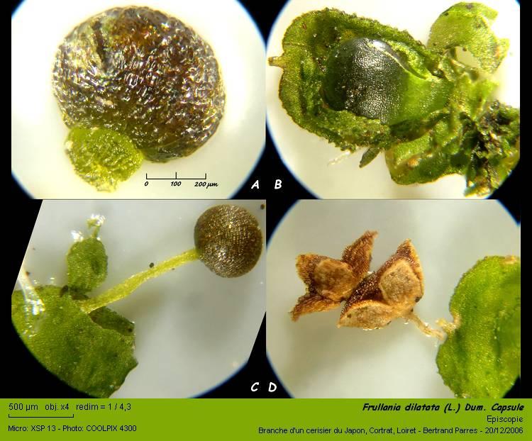 Frullania dilatata (L.) Dum. 08_fru10