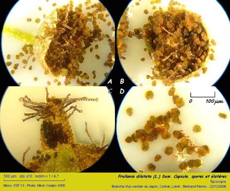 Frullania dilatata (L.) Dum. 09_fru10
