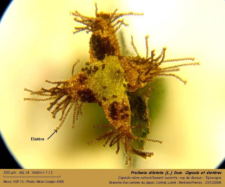 Frullania dilatata (L.) Dum. 10_fru10