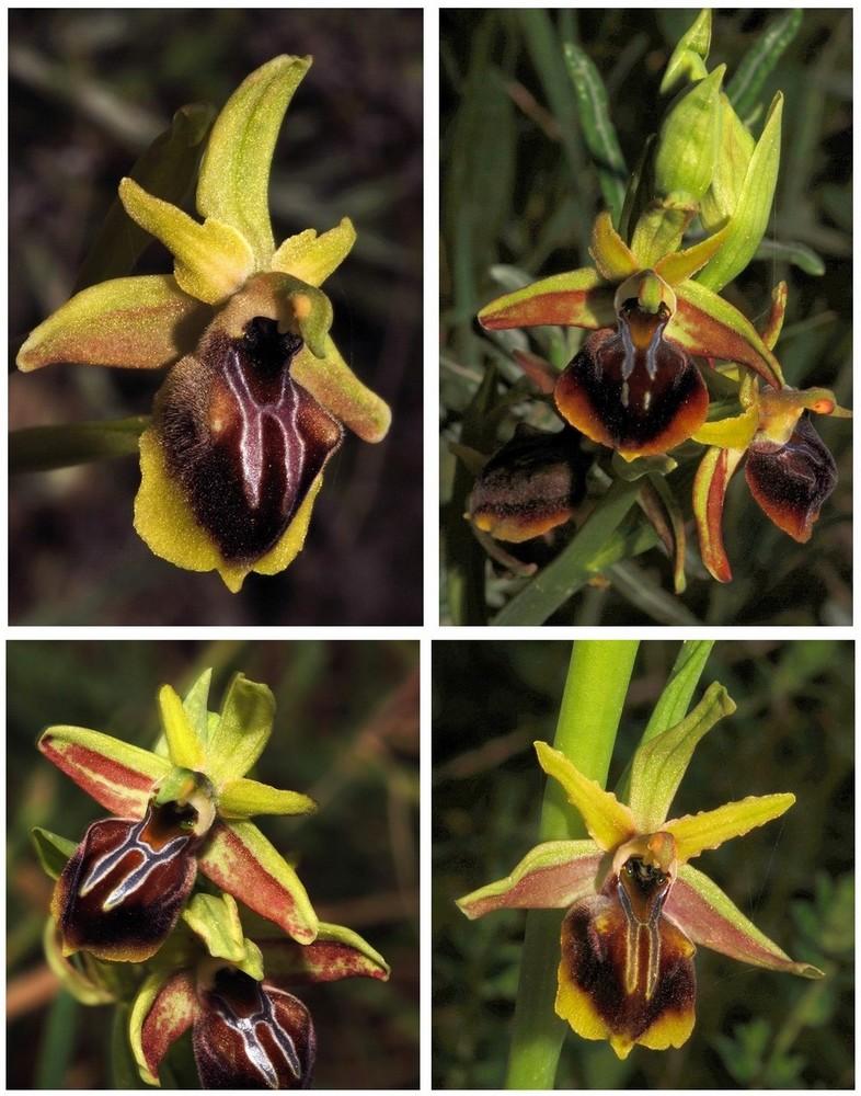 Chypre 3- les ophrys du groupe d'O. mammosa et les sérapias Ala_310