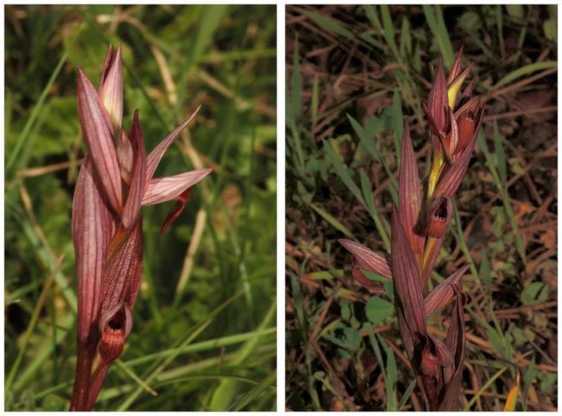 Chypre 3- les ophrys du groupe d'O. mammosa et les sérapias Aph_211