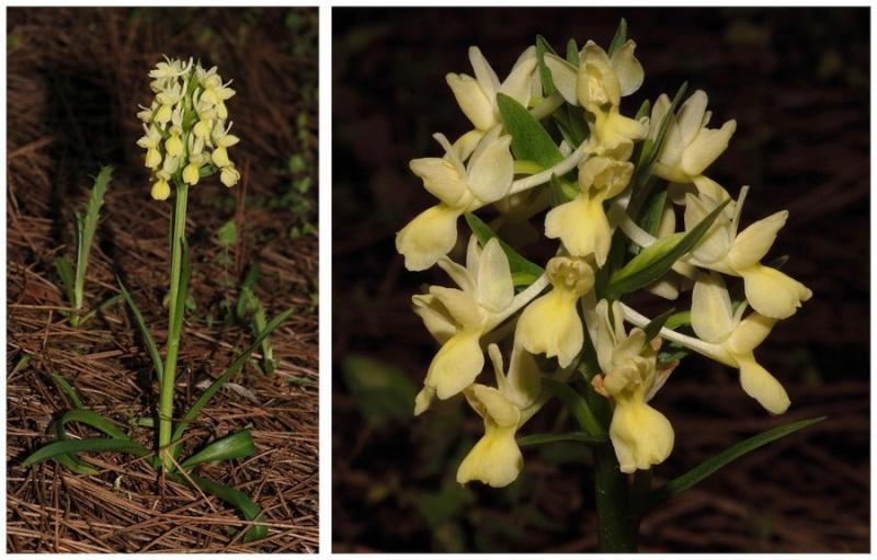Chypre 2013 4- autres orchidées hors Ophrys et Serapias D_rom_10